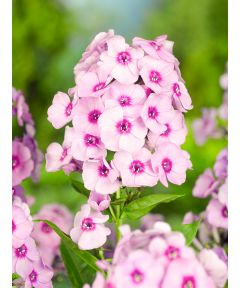 Phlox bright eyes