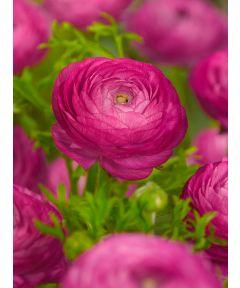 Ranunculus pink