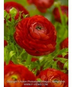 Ranunculus red tomer for pot