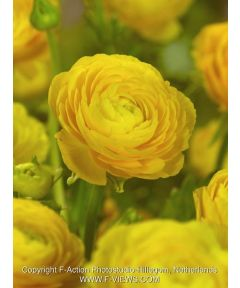 Ranunculus gelb