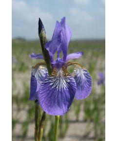 Iris blue king sibirica