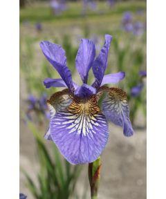 Iris persimmon sibirica