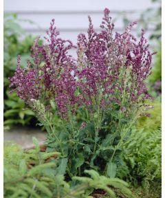 Salvia schwellenburg nemorosa