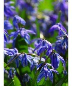 Scilla sib spring beauty