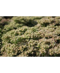 Sedum alboroseum medivariegatum