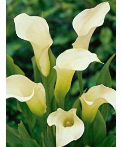 Zantedeschia aethiopica (weiss)