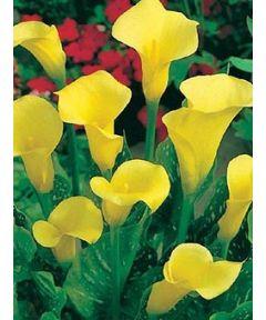Zantedeschia yellow