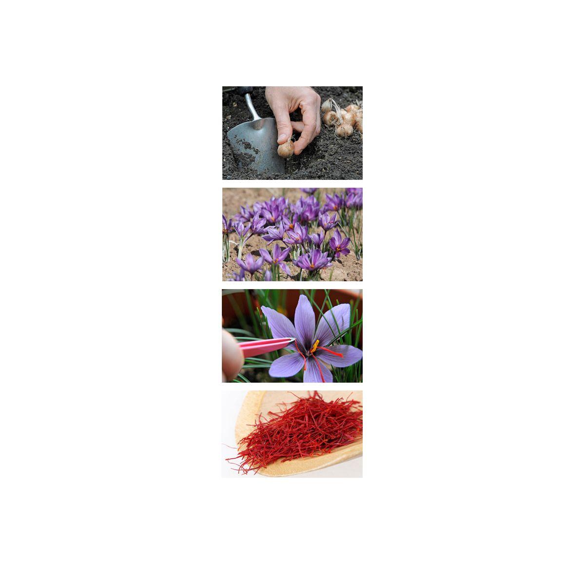 343255fb610237 Buy online Crocus Sativus bulbs (Saffron bulbs)