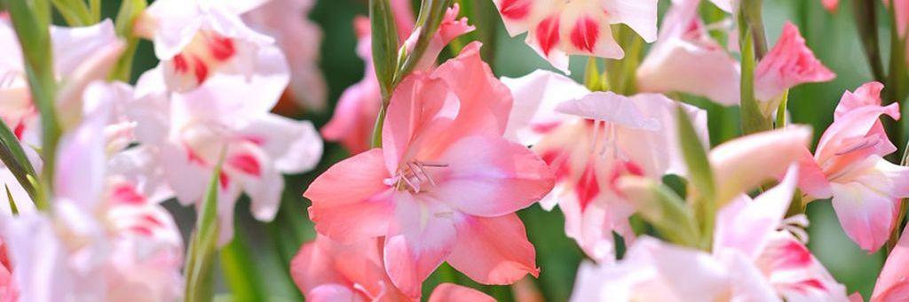 Gladiolus småblomster