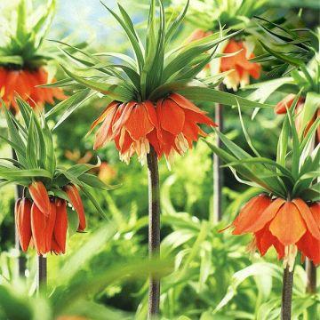 Fritillaria og Kejserkrone